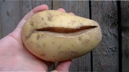 5 причин, чому картопля в землі покривається глибокими тріщинами